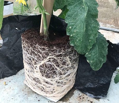 Positive feedback for Vvibes tomato rootstock Selvaggio F1